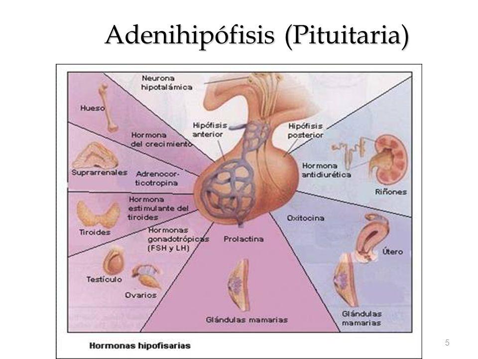 Encantador Anatomía Endocrina Molde - Anatomía de Las Imágenesdel ...