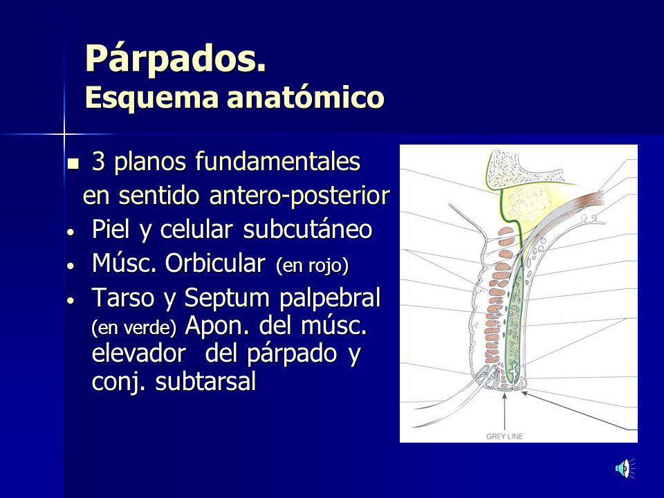 Párpados. Esquema anatómico