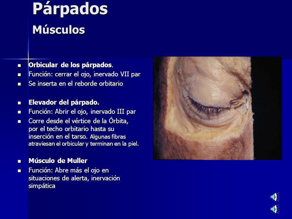 Párpados Músculos Orbicular de los párpados.