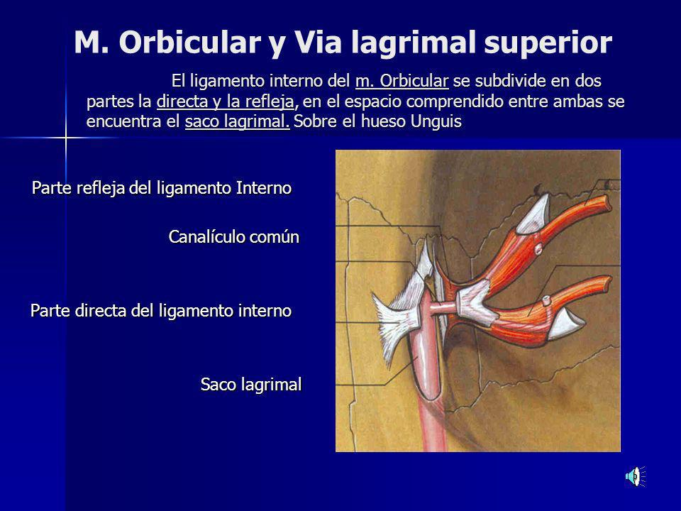M. Orbicular y Via lagrimal superior