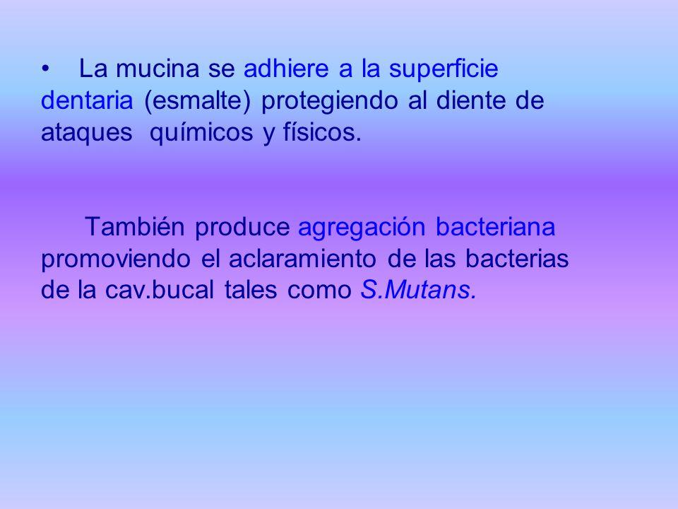La mucina se adhiere a la superficie dentaria (esmalte) protegiendo al diente de ataques químicos y físicos.