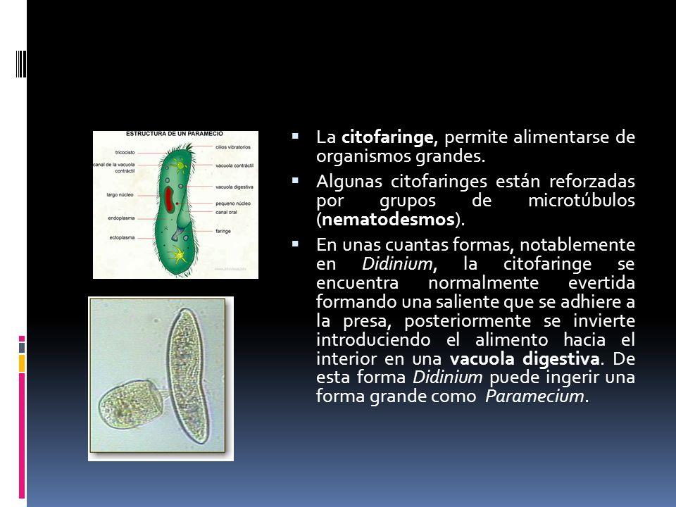 La citofaringe, permite alimentarse de organismos grandes.