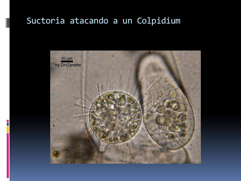 Suctoria atacando a un Colpidium