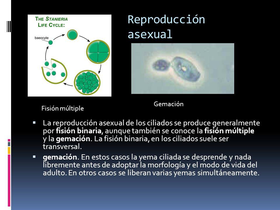 Reproducción asexual Gemación. Fisión múltiple.