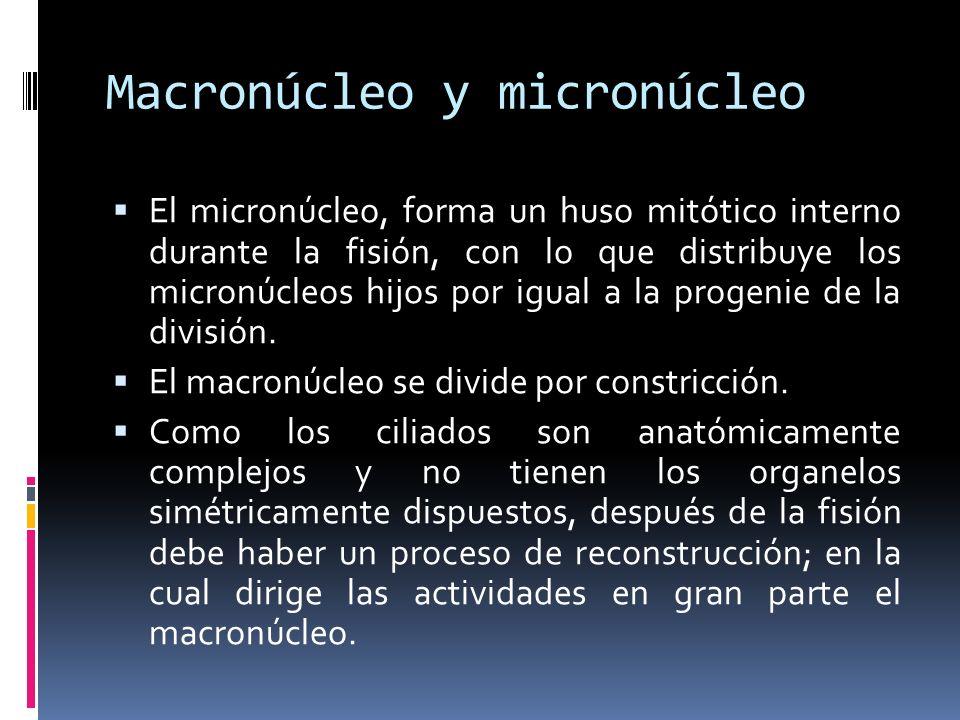 Macronúcleo y micronúcleo