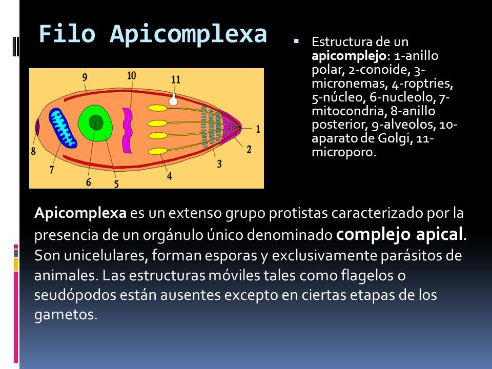 Filo Apicomplexa
