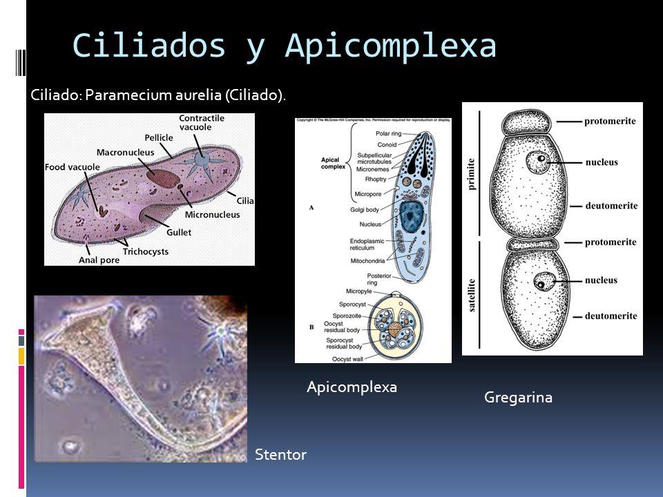 Ciliados y Apicomplexa