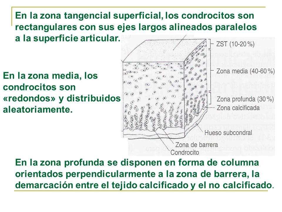 En la zona tangencial superficial, los condrocitos son rectangulares con sus ejes largos alineados paralelos a la superficie articular.