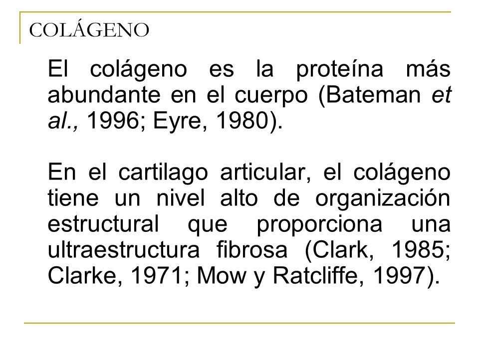 COLÁGENO El colágeno es la proteína más abundante en el cuerpo (Bateman et al., 1996; Eyre, 1980).
