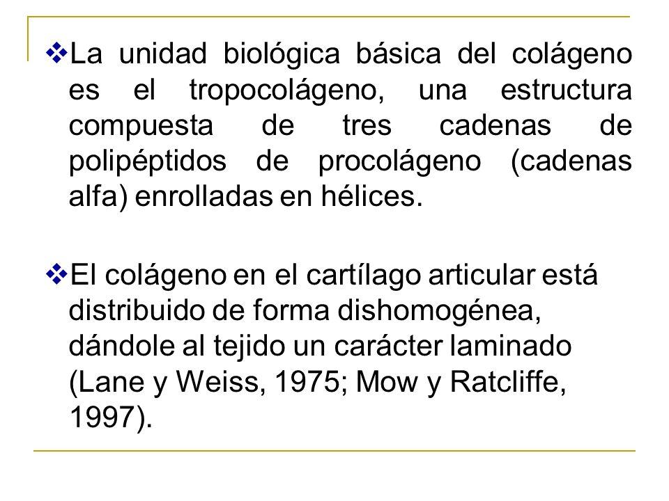 La unidad biológica básica del colágeno es el tropocolágeno, una estructura compuesta de tres cadenas de polipéptidos de procolágeno (cadenas alfa) enrolladas en hélices.