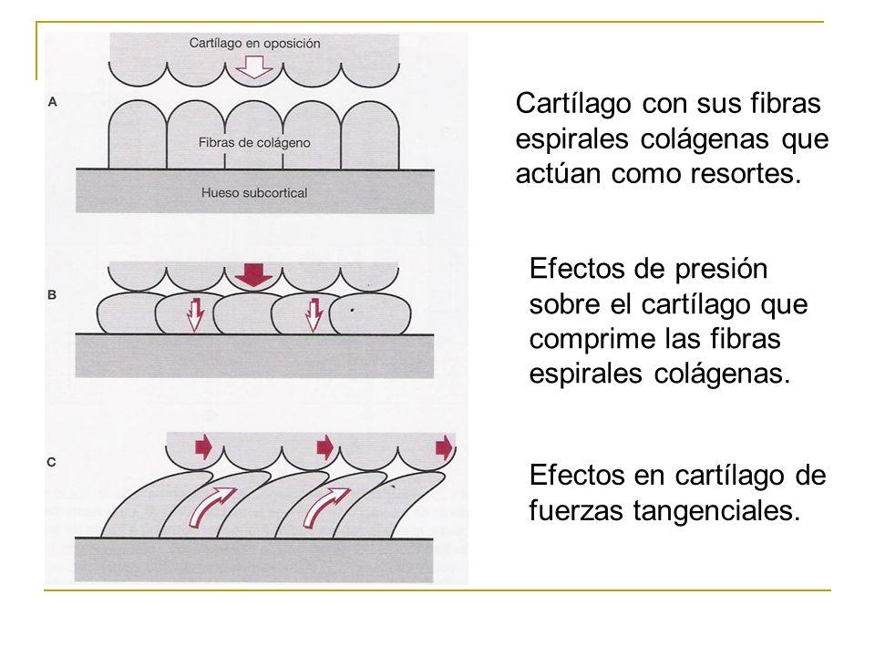 Cartílago con sus fibras espirales colágenas que actúan como resortes.