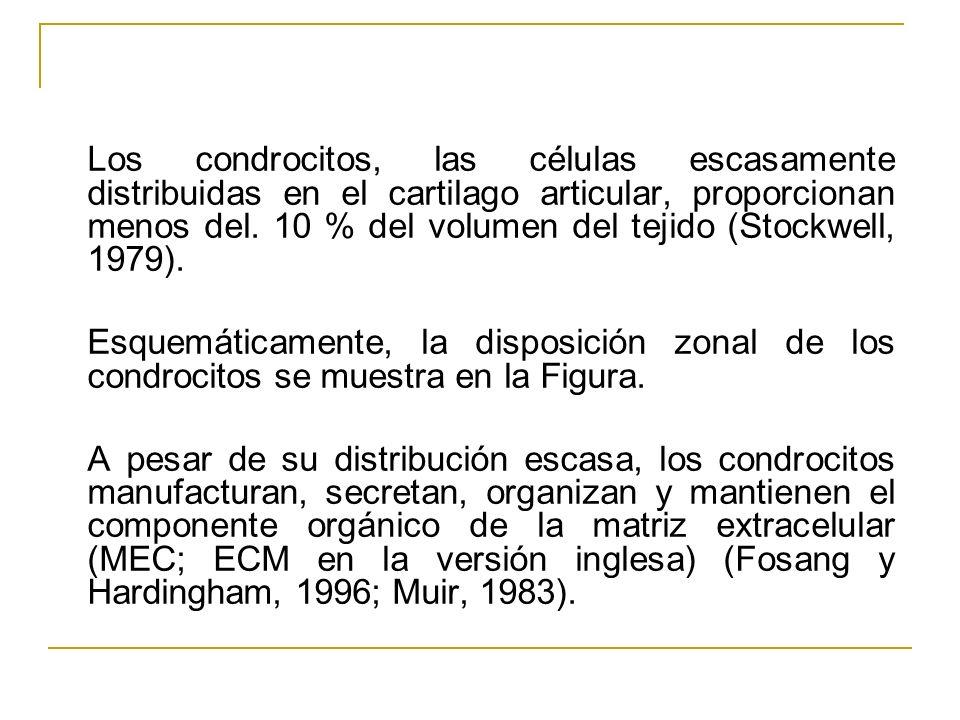 Los condrocitos, las células escasamente distribuidas en el cartilago articular, proporcionan menos del. 10 % del volumen del tejido (Stockwell, 1979).