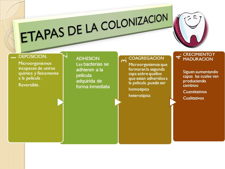ETAPAS DE LA COLONIZACION