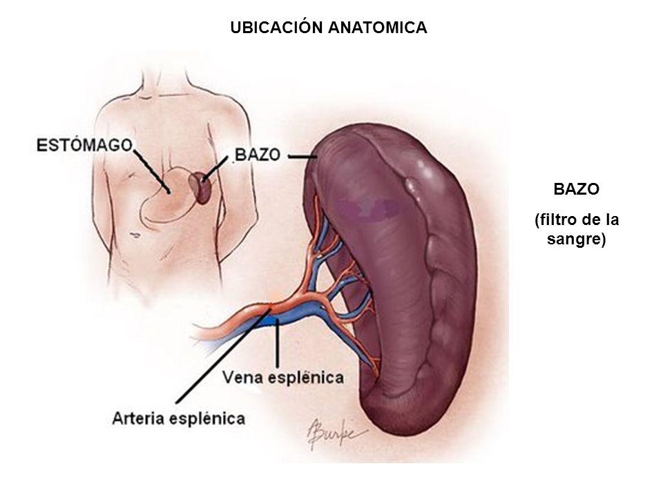 Vistoso Ubicación Del Bazo Imagen - Anatomía de Las Imágenesdel ...