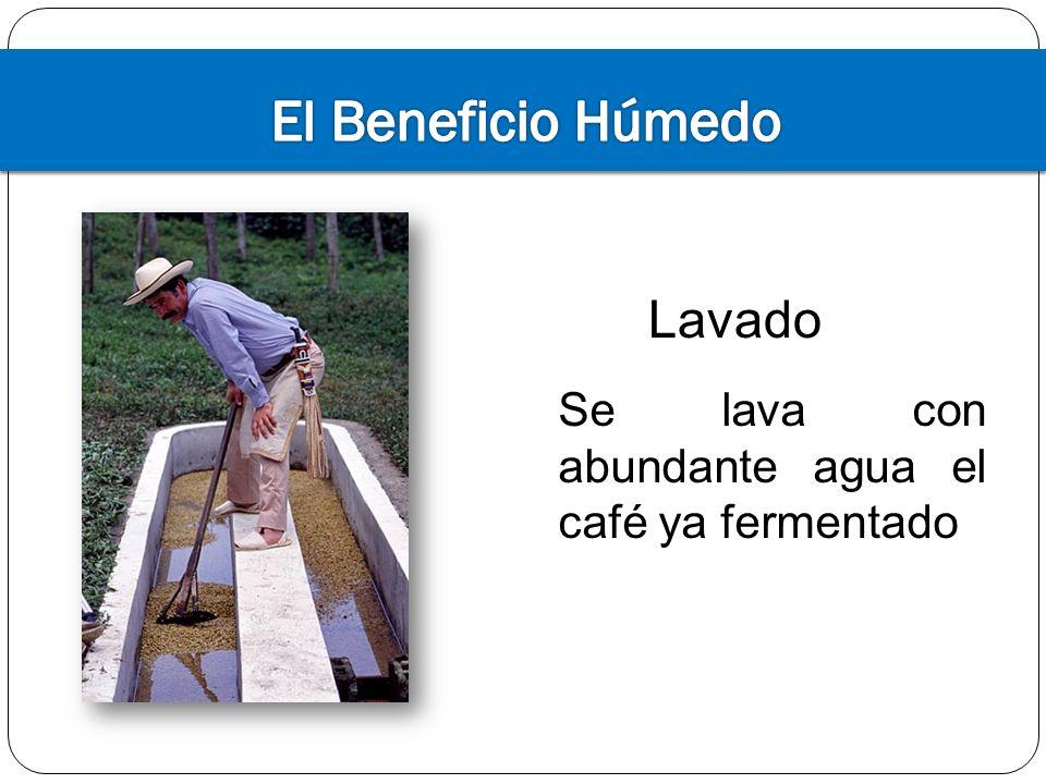 El Beneficio Húmedo Lavado