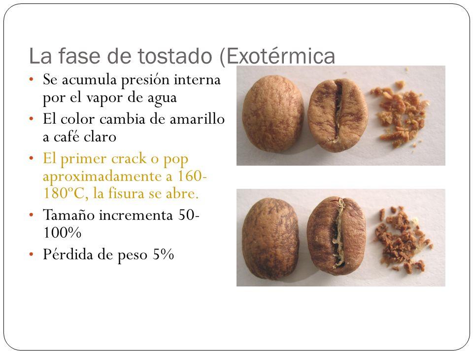 La fase de tostado (Exotérmica