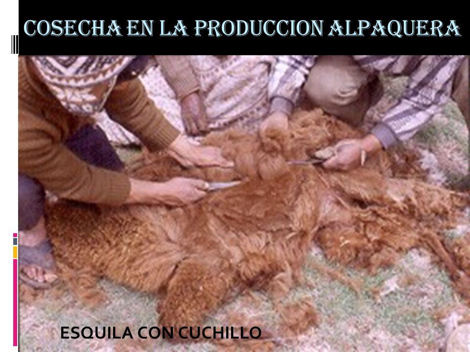 COSECHA EN LA PRODUCCION ALPAQUERA