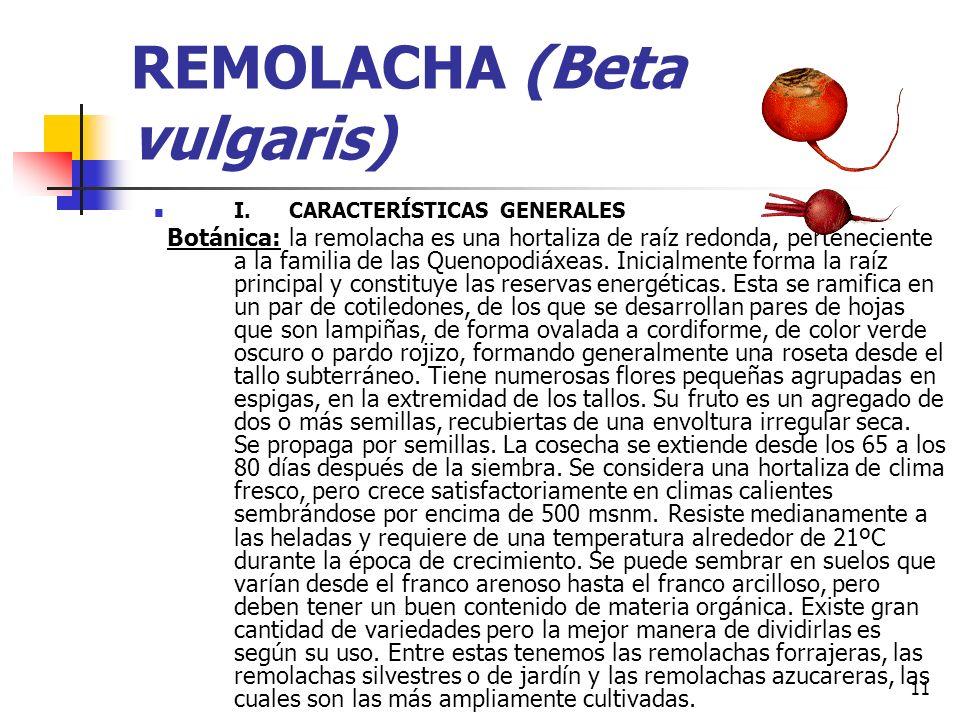 REMOLACHA (Beta vulgaris)