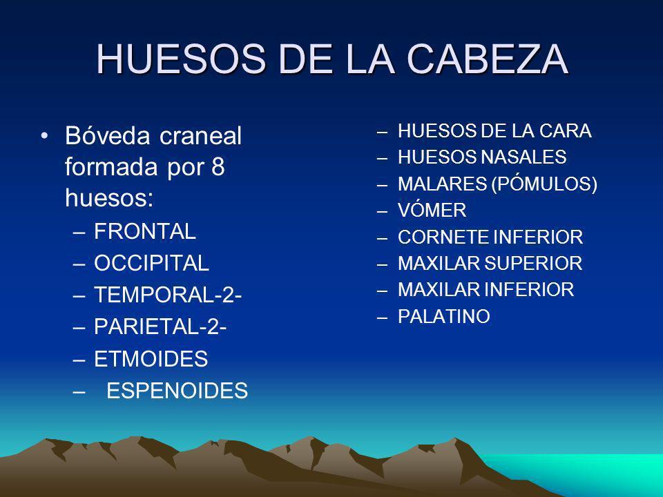 HUESOS DE LA CABEZA Bóveda craneal formada por 8 huesos: FRONTAL