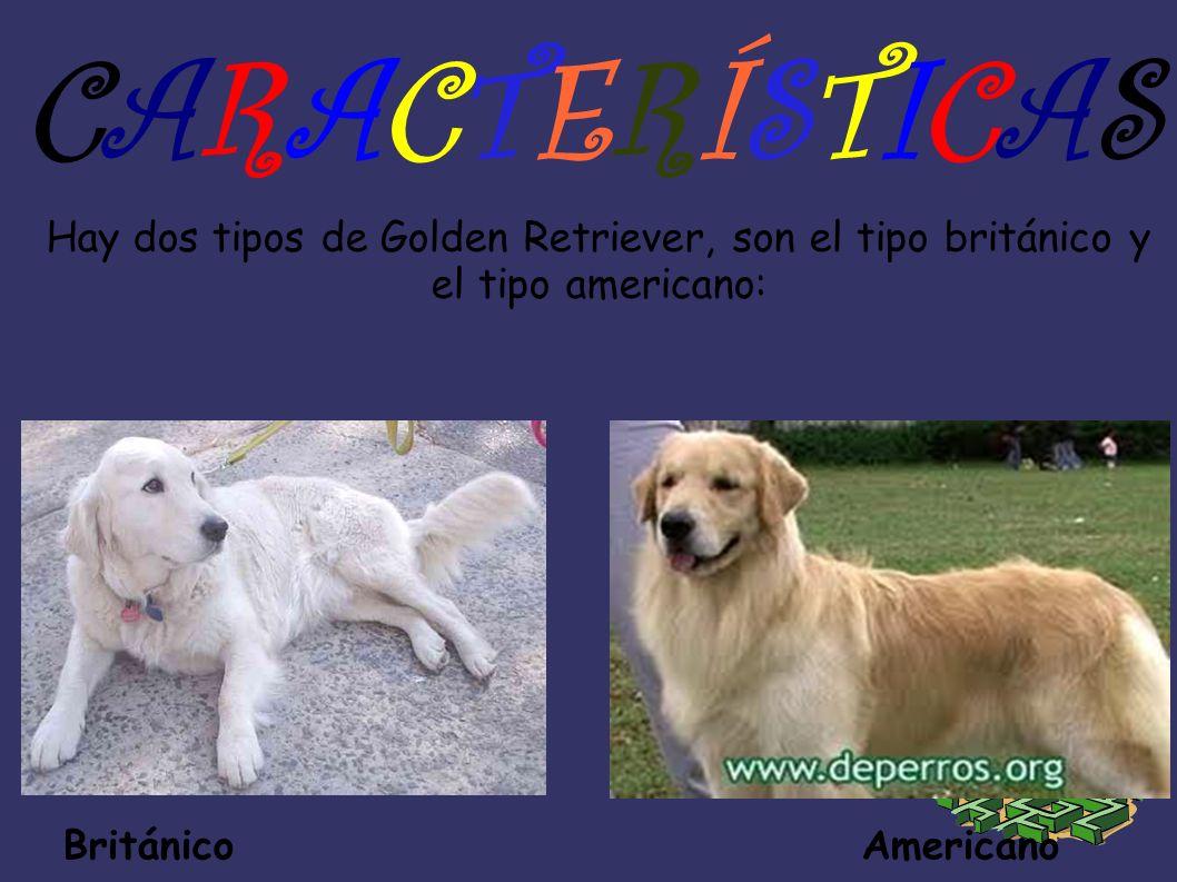 CARACTERÍSTICAS Hay dos tipos de Golden Retriever, son el tipo británico y el tipo americano: Británico Americano.