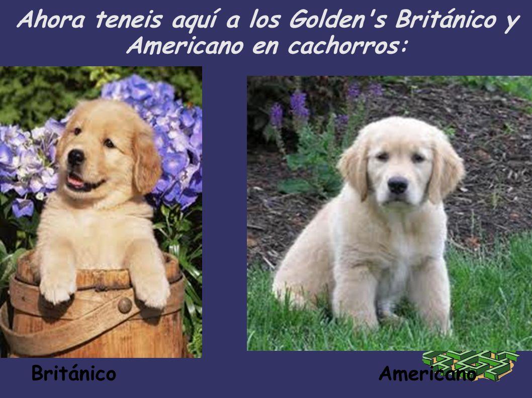 Ahora teneis aquí a los Golden s Británico y Americano en cachorros: