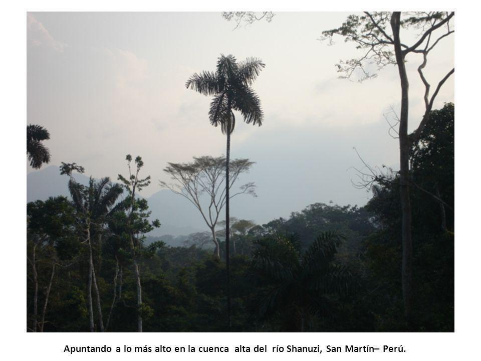 Apuntando a lo más alto en la cuenca alta del río Shanuzi, San Martín– Perú.