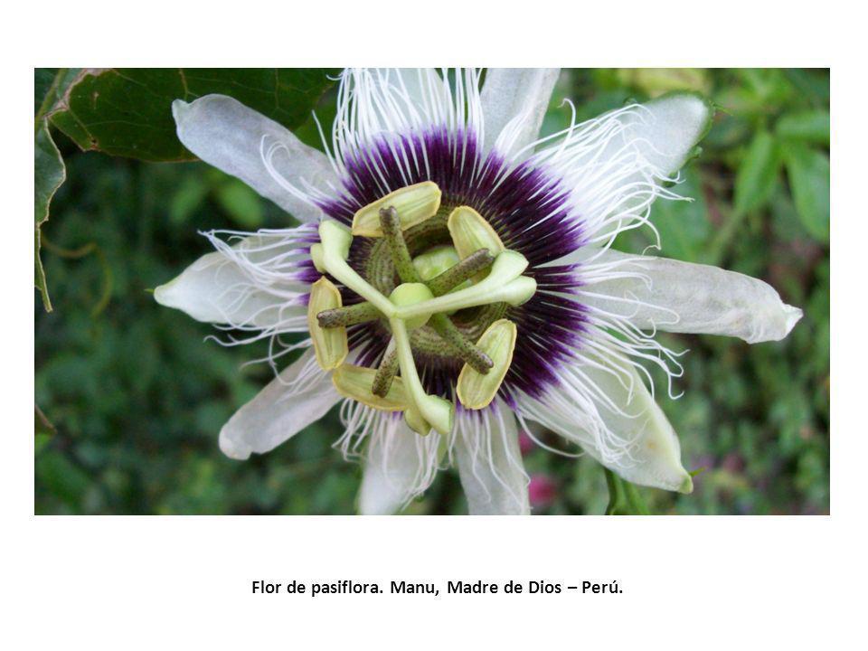 Flor de pasiflora. Manu, Madre de Dios – Perú.