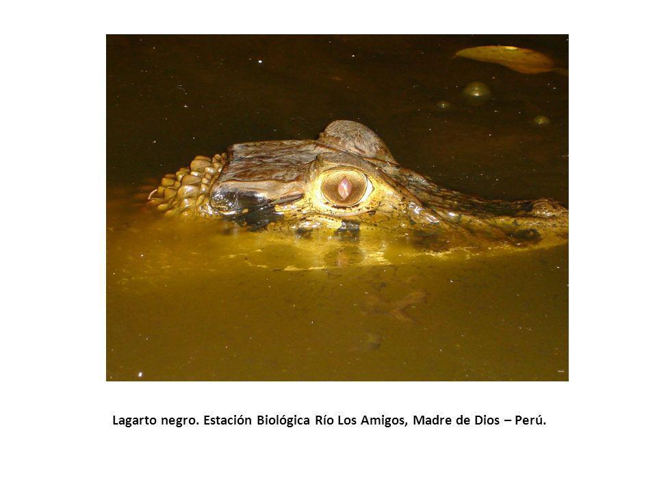 Lagarto negro. Estación Biológica Río Los Amigos, Madre de Dios – Perú.