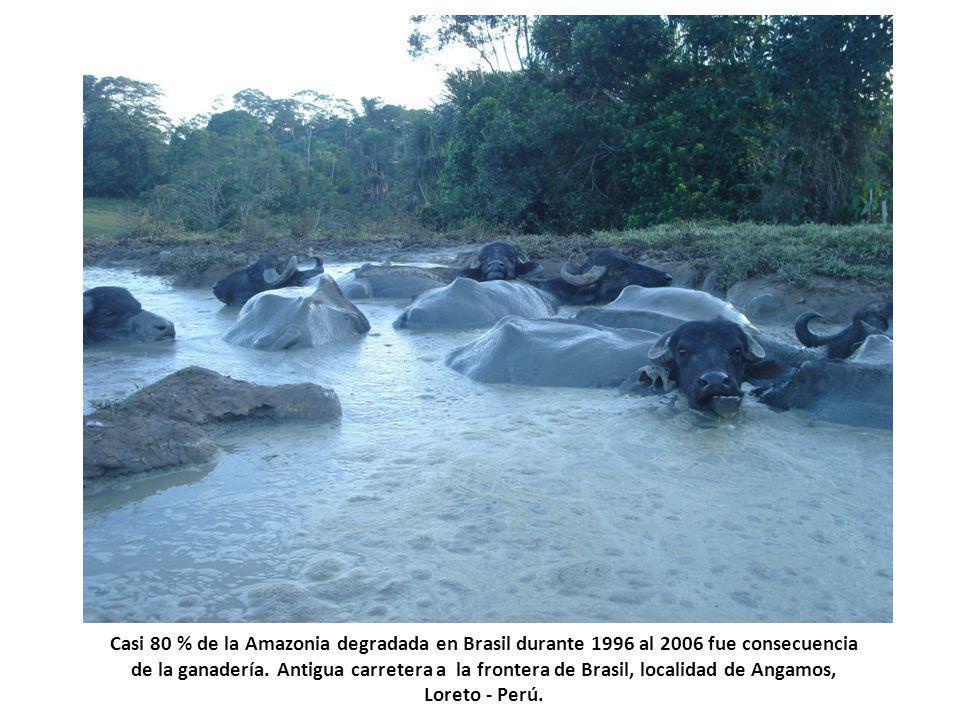 Casi 80 % de la Amazonia degradada en Brasil durante 1996 al 2006 fue consecuencia de la ganadería.