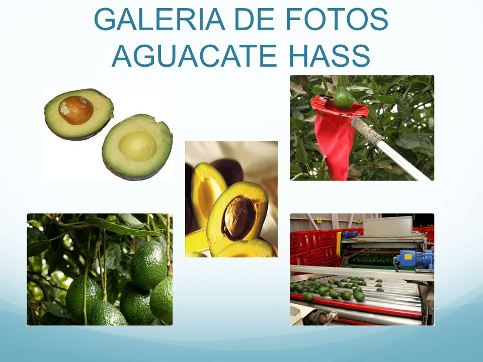 GALERIA DE FOTOS AGUACATE HASS