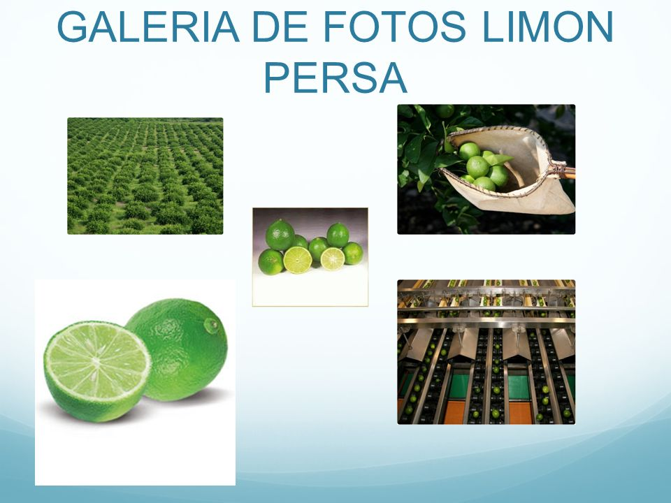 GALERIA DE FOTOS LIMON PERSA