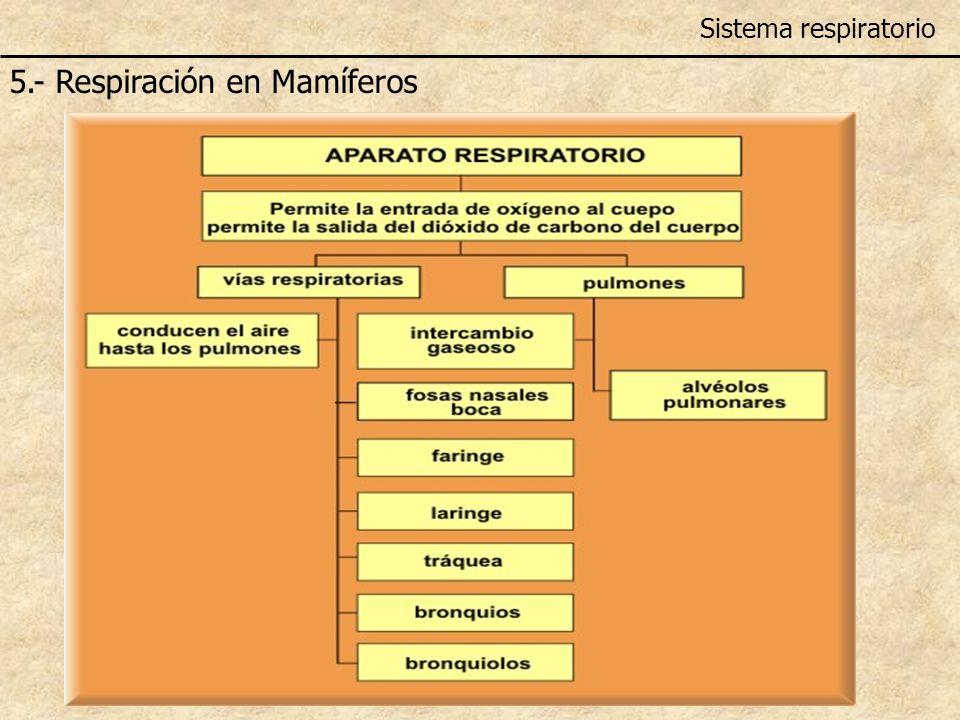5.- Respiración en Mamíferos