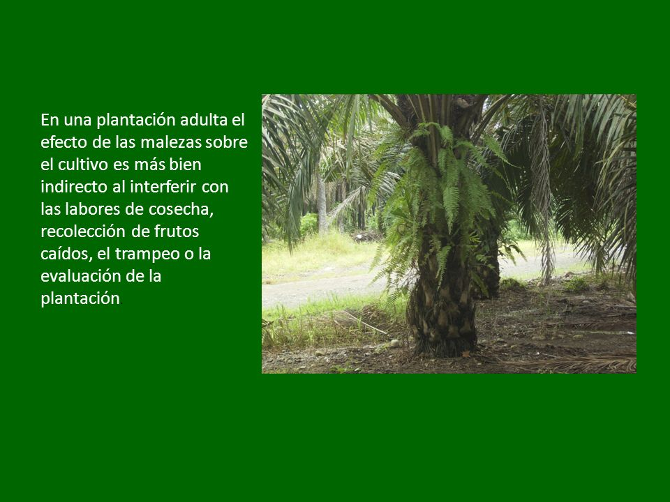 En una plantación adulta el efecto de las malezas sobre el cultivo es más bien indirecto al interferir con las labores de cosecha, recolección de frutos caídos, el trampeo o la evaluación de la plantación.