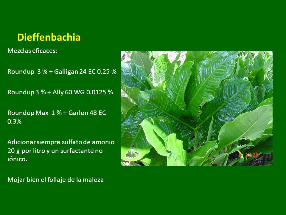 Dieffenbachia Mezclas eficaces: Roundup 3 % + Galligan 24 EC 0.25 %