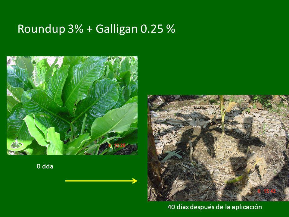 Roundup 3% + Galligan 0.25 % 0 dda 40 días después de la aplicación