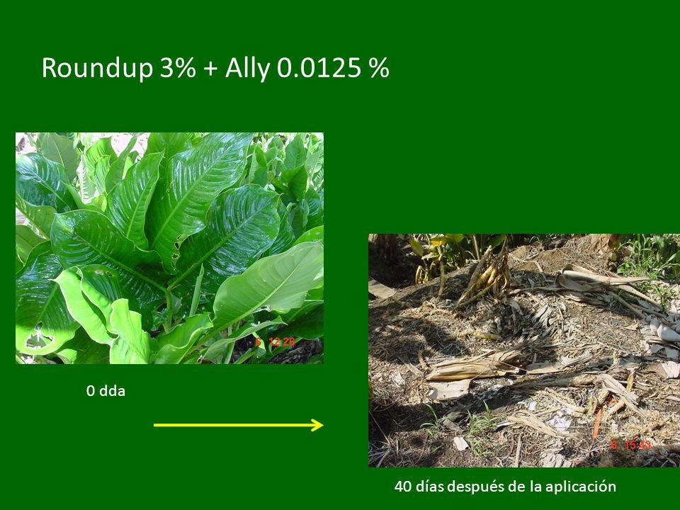 Roundup 3% + Ally 0.0125 % 0 dda 40 días después de la aplicación