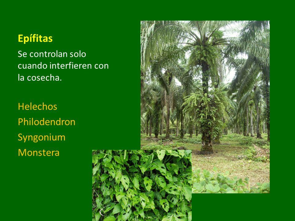 Epífitas Helechos Philodendron Syngonium Monstera