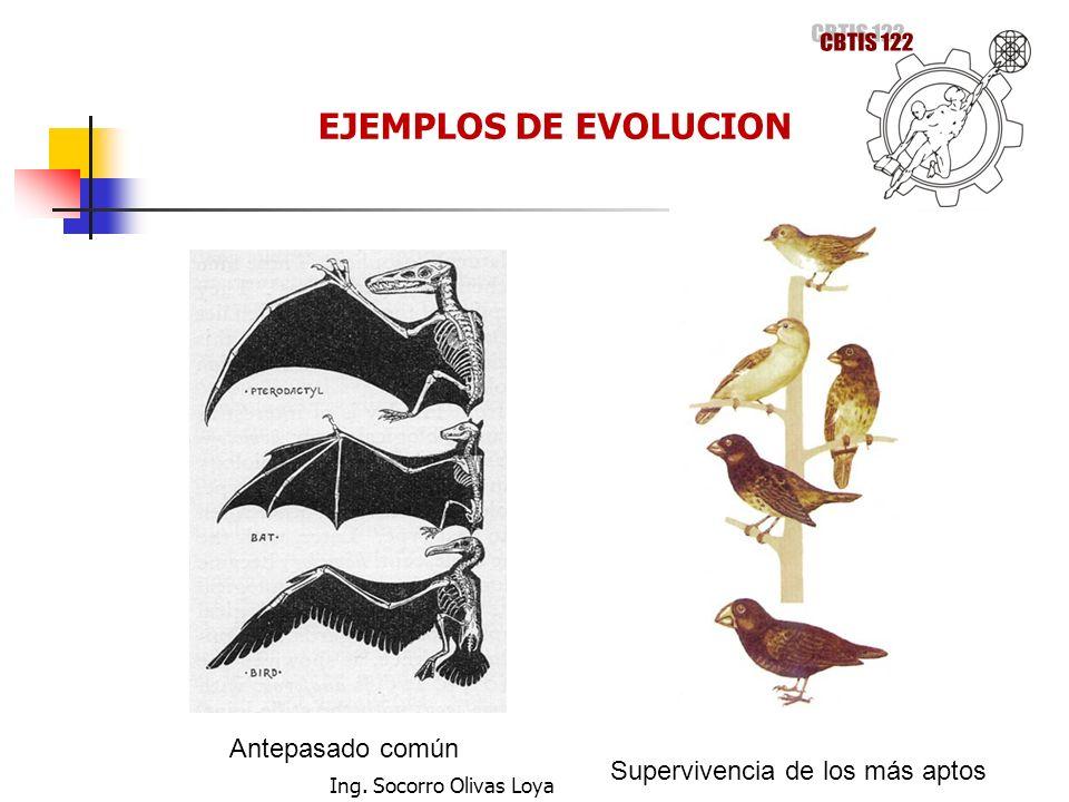CBTIS 122 EJEMPLOS DE EVOLUCION Antepasado común