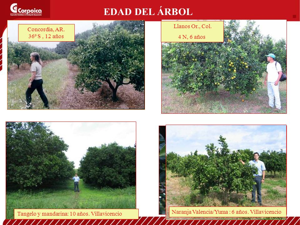 EDAD DEL ÁRBOL Llanos Or., Col. Concordia, AR. 4 N, 6 años