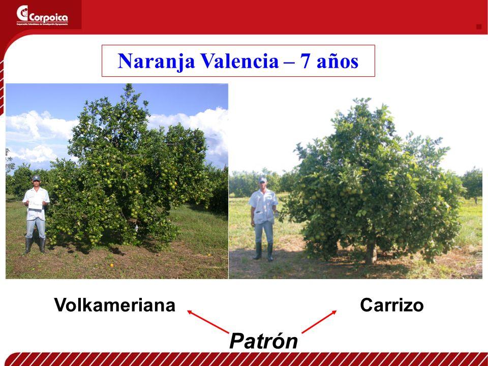 Naranja Valencia – 7 años