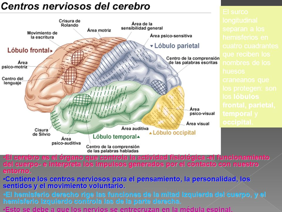 El surco longitudinal separan a los hemisferios en cuatro cuadrantes que reciben los nombres de los huesos craneanos que los protegen: son los lóbulos frontal, parietal, temporal y occipital.
