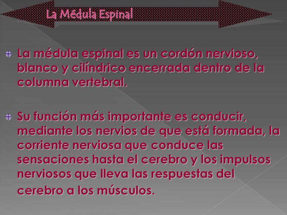 La Médula Espinal La médula espinal es un cordón nervioso, blanco y cilíndrico encerrada dentro de la columna vertebral.