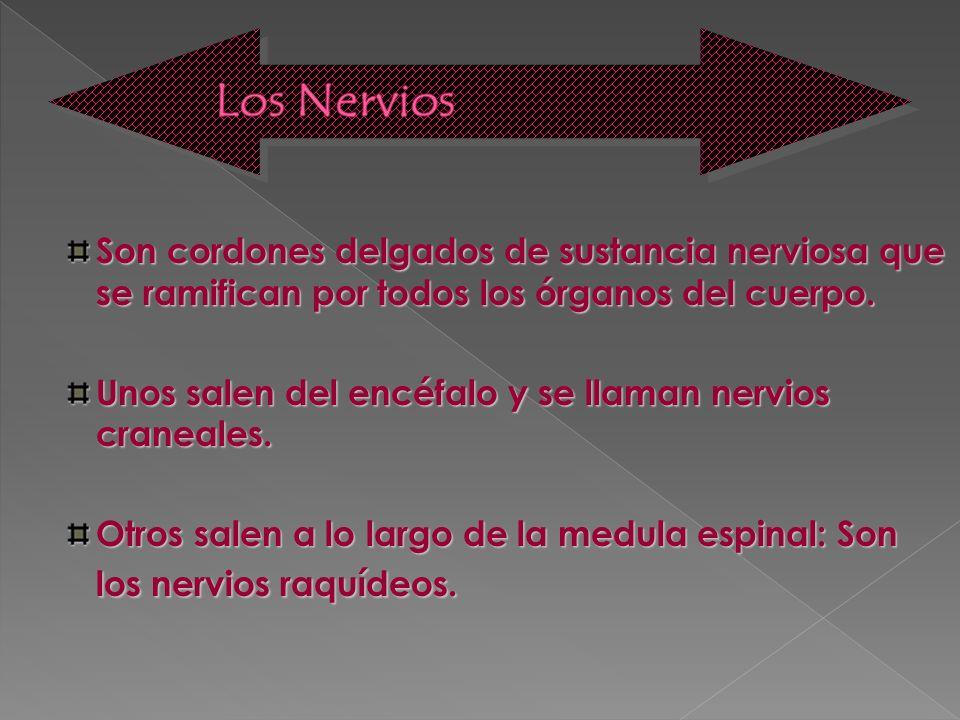 Los Nervios Son cordones delgados de sustancia nerviosa que se ramifican por todos los órganos del cuerpo.