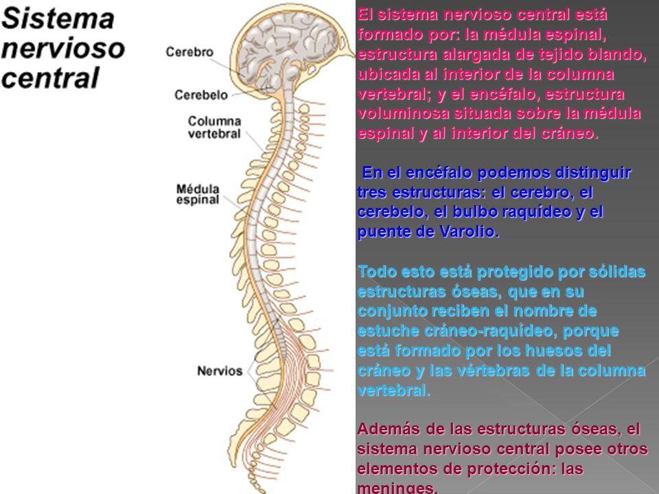 El sistema nervioso central está formado por: la médula espinal, estructura alargada de tejido blando, ubicada al interior de la columna vertebral; y el encéfalo, estructura voluminosa situada sobre la médula espinal y al interior del cráneo.