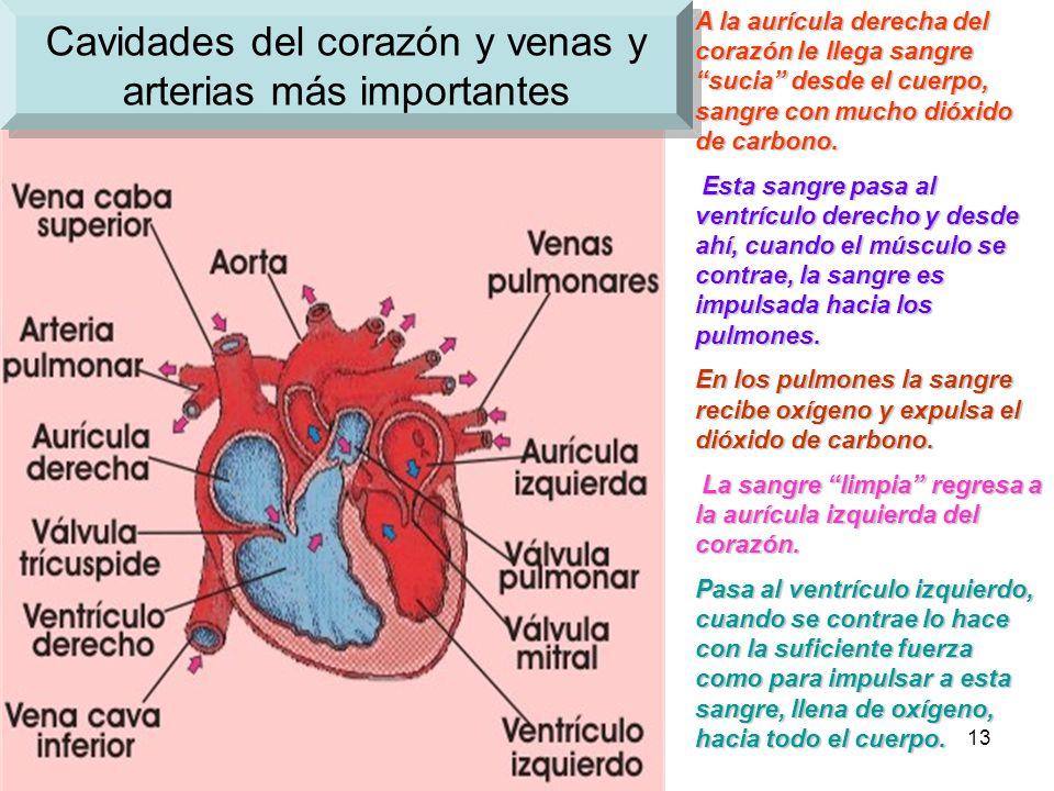 Cavidades del corazón y venas y arterias más importantes