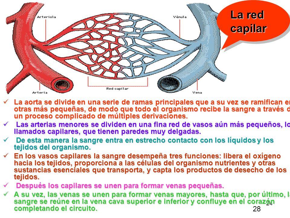 La red capilar