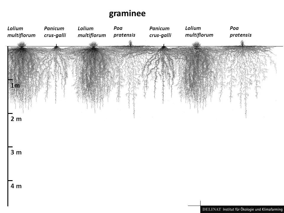 graminee 1m 2 m 3 m 4 m Lolium multiflorum Panicum crus-galli