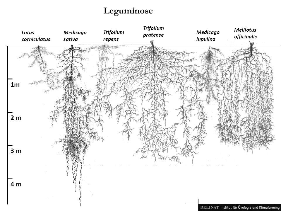 Leguminose 1m 2 m 3 m 4 m Trifolium pratense Melilotus officinalis
