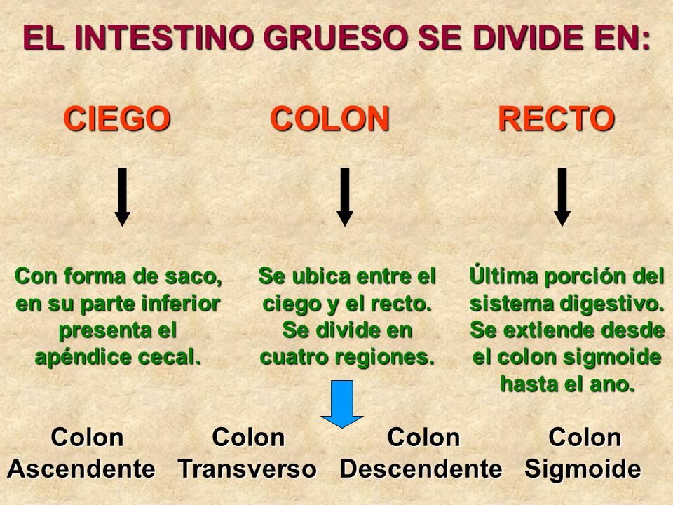 EL INTESTINO GRUESO SE DIVIDE EN: