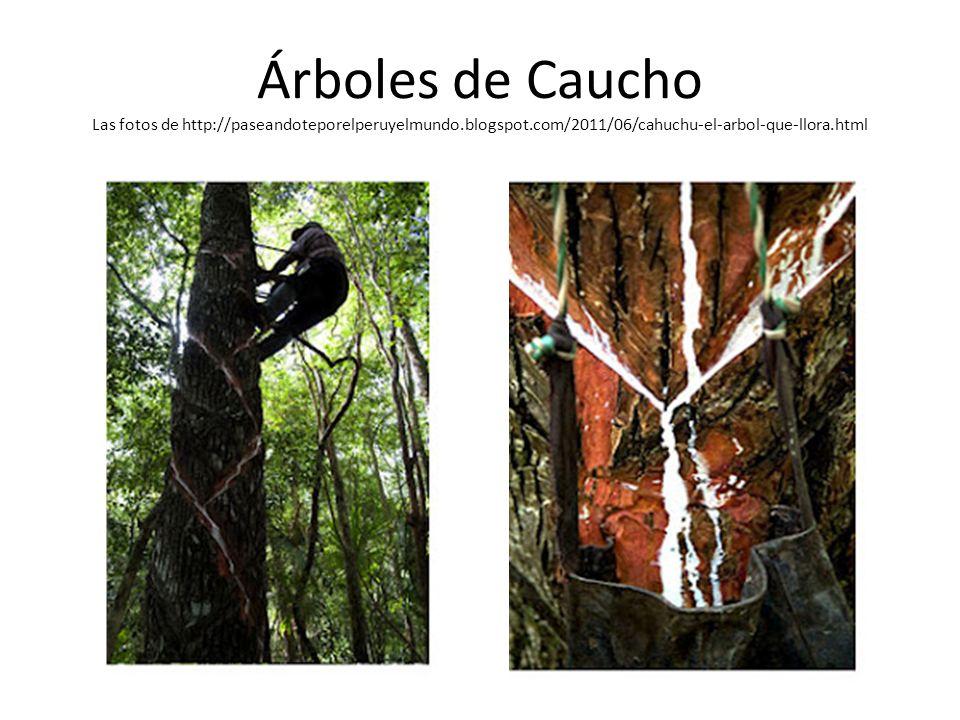 Árboles de Caucho Las fotos de http://paseandoteporelperuyelmundo
